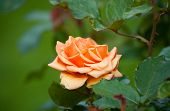 Orange Rose, Sort The Cheshire Regiment