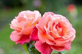 Rose Bush Hybrid Tea Rose Troika