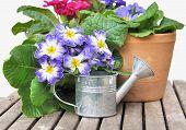 Blooming Pansies In Pot