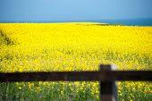 Flowering Field Of Rape