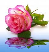 Pink Rose And Water  Reflection.