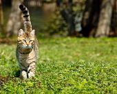 Cat, Felis Catus