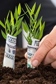 Businessman Holding Saplings Covered With American Dollar