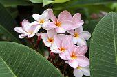 Pink Frangipani Blossom