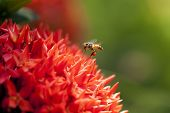 Close Up Ixora And Bee