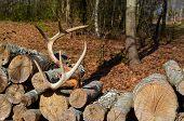 Deer antlers on woodpile