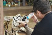 Man feeds Indochinese tiger with milk in Saiyok, Thailand.