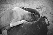 Mommy Dog Finding Some Food For Kids In A Bin, Black And White Toned