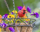 image of hang-gliding  - Male Cardinal perched in hanging flower basket - JPG