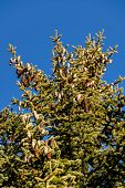 pine cones and blue sky as a symbol of growth, reproduction, modification