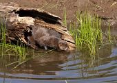 pic of mink  - Mink coming out of hollow log entering lake water - JPG