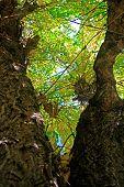 pic of leafy  - Leafy tree  - JPG