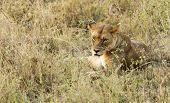 Lioness Staring