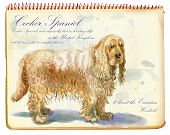 Cocker Spaniel - An Hand Painted Illustration