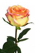 Beautiful tea-rose