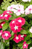 Beautiful Pink Vinca Flowers Or Madagascar Periwinkle