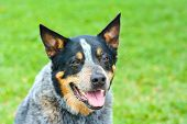 pic of cattle dog  - Australian cattle dog with green bright background - JPG
