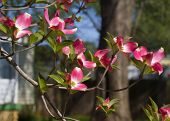 stock photo of dogwood  - These are red and white spring blooming dogwood blossoms - JPG