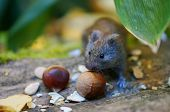 mouse and chestnuts