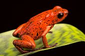 strawberry poison dart frog from the tropical rain forest of Panama and Costa Rica