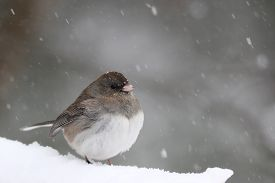 picture of snowbird  - A female snow bird or dark - JPG