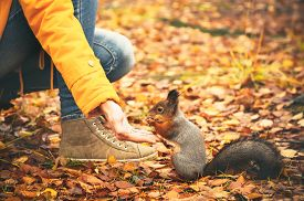 picture of ground nut  - Squirrel eating nuts from woman hand and autumn leaves on background wild nature animal thematic  - JPG
