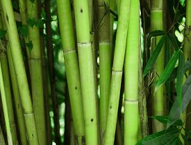 stock photo of photosynthesis  - Bamboo tree vertical stick - JPG