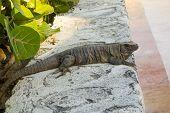 stock photo of yucatan  - Free roaming Mexican Iguana resting on a garden curb and waiting for a prey at Yucatan peninsula - JPG