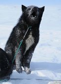 pic of sled-dog  - The black sled dog howling on a leash in the winter sun - JPG