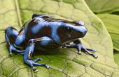 picture of rainforest  - blue poison dart frog - JPG