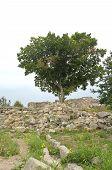 foto of crimea  - Tree and ruins of Chersonese Taurian - JPG