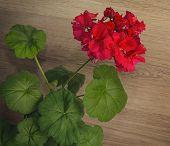 foto of geranium  - Red Geranium flower and green leafs closeup - JPG