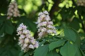 foto of may-flower  - Chestnut flower in the park in sunny day in May  - JPG