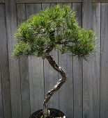 stock photo of bonsai  - decorative Bonsai tree in a japanese garden - JPG