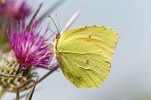 picture of butterfly flowers  - Common Grass Yellow (Eurema hecabe) Butterfly. Large Grass Yellow butterfly on a flower searching for honey or nectar on a summer day.