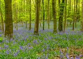 picture of floor covering  - Bluebells covering the floor of a Hampshire wood.