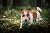 stock photo of jack russell terrier  - Dog Jack Russell Terrier walks in the park summer - JPG