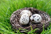 image of grass bird  - Nest with bird eggs over green grass background - JPG