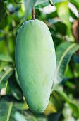 picture of mango  - Close up of mangoes on a mango tree - JPG