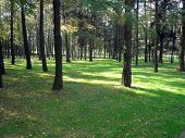 stock photo of coniferous forest  - coniferous forest in city park ad day - JPG