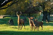 picture of deer family  - Buck Deer and her does at Masterton Deer Park - JPG