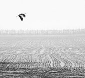 flying stork over the winter field