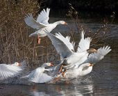 a flight of white  geese
