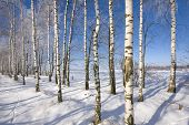 Frozen birch alley at winter adn deep blue sky