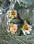 Song-Thrush Nestlings