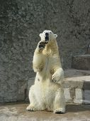 stock photo of polar bears  - polar bear standing up on the hind legs bare its fangs - JPG