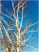 Winter White Birch