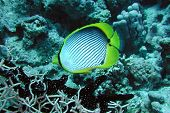 Black-backed Butterflyfish.