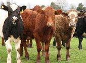 foto of charolais  - three texas steers taking curious interest in a photograher - JPG
