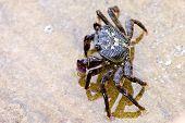 Common rock crab standing in rock pool